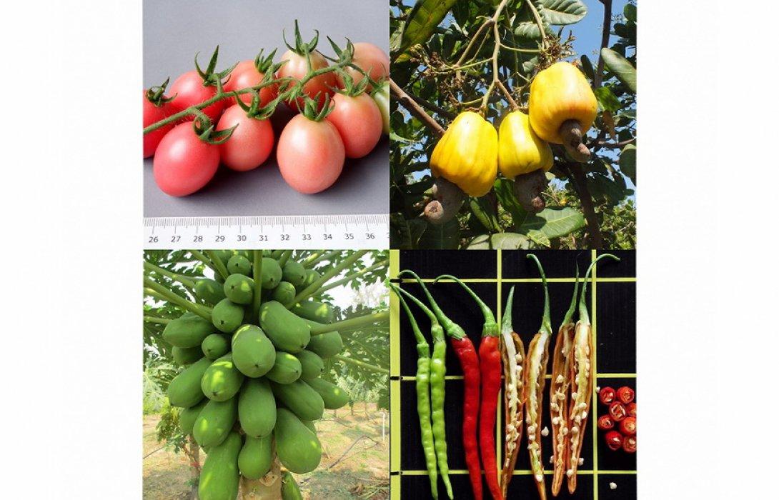 """""""ศรีสะเกษ"""" เปิดตัวพืชทำส้มตำ รองรับอุตสาหกรรมอาหารโตระดับโลก"""