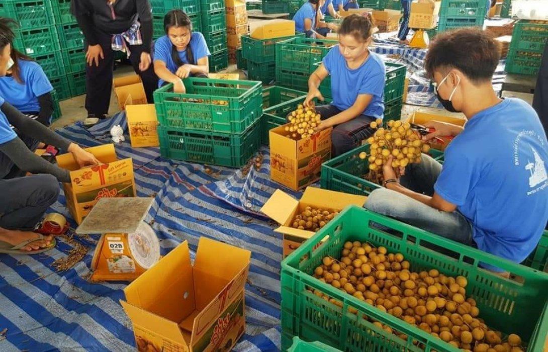 เกษตรฯ เผยผลการจ่ายเงินเยียวยาชาวสวนลำไย